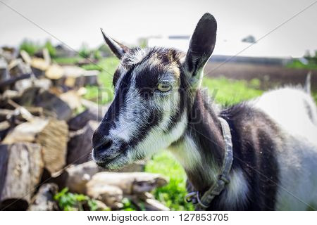 black and white young hornless domestic goat at farm, closeup