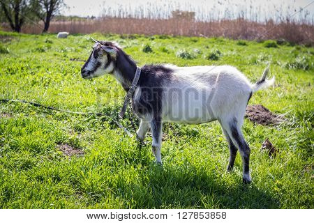 black and white young hornless domestic goat on the leash at pasture on the meadow