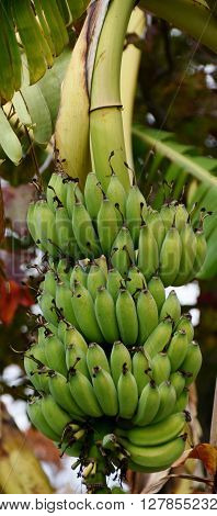 Close up of a Bunch of wild Bananas