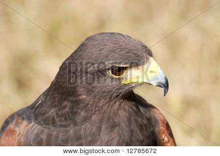 Head And Expression Of A Harris Hawk