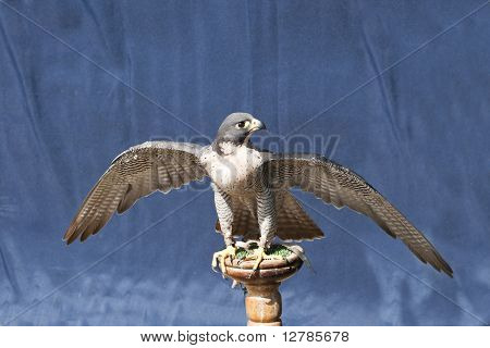 Peregrine Falcon On A Stand With Wings Spread