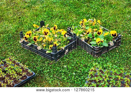 Spring in the garden. Flower seedlings in box on green grass from above. Background layout with free copyspace.