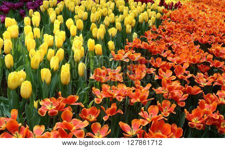 Tulips Pako and Strong Yellow in full bloom