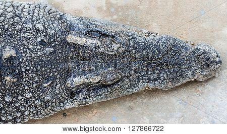 Closeup of a head crocodile sleeping on the floor