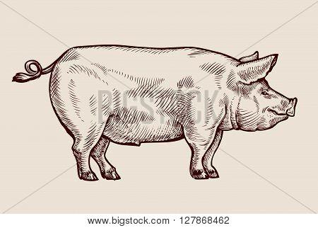 Sketch pig, pork. Hand drawn vector illustration