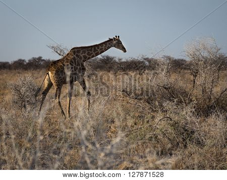 Angolan giraffe walking the open fields of Etosha national park Namibia Africa.