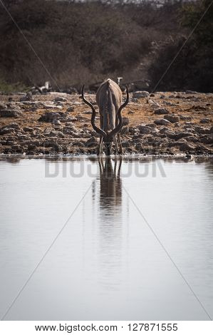 Greater male kudu drinking at waterhole. Reflection in the water. Etosha National Park Namibia Africa.