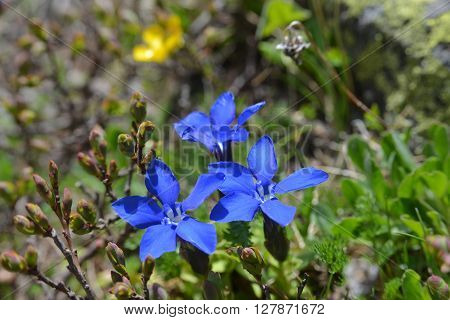 Blue flowers of Gentiana verna L. Cyclostigma in mountains. Close-up.
