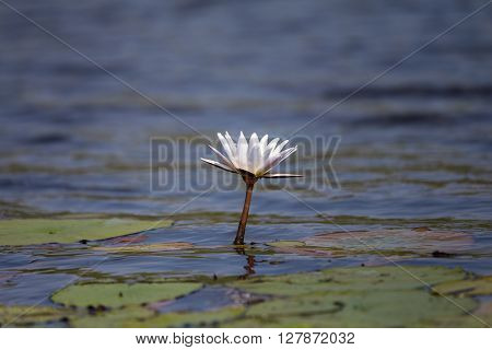 Lone water lily in the Okavango delta.