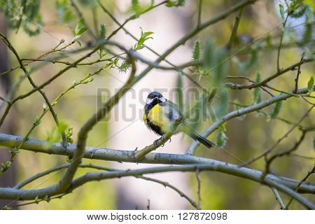 Tit perched on a tree branch and looking at the camera in spring