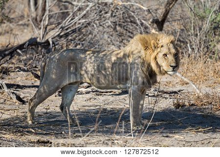 Young Southwest African male lion standing in the morning light. Etosha National Park Namibia Africa.