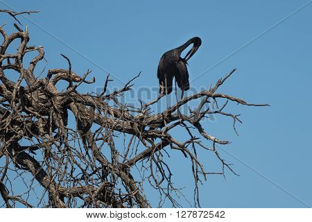 Black Stork (Ciconia nigra) clearning its feathers in a tree top. Okavango Delta of Botswana Africa.