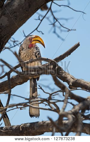 Southern yellow-billed hornbill sitting on a branch. Banana bird sitting in a tree in the Okavango Delta of Botswana Africa