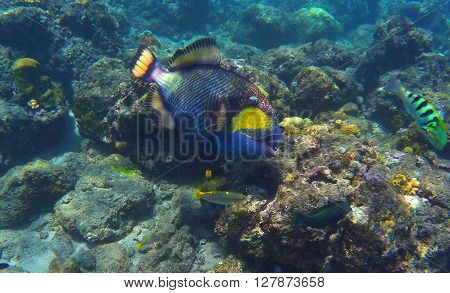 Trigger fish in coral reef, coral fish of Bali sea, snorkeling in Bali, diving in Bali, sea life of coral reef, coral reef fish, blue and yellow coral fish, big coral fish in sea, blue sea vacation
