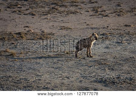 Baby hyena standing alone on the open planes of Etosha national park Namibia. With a broken leg