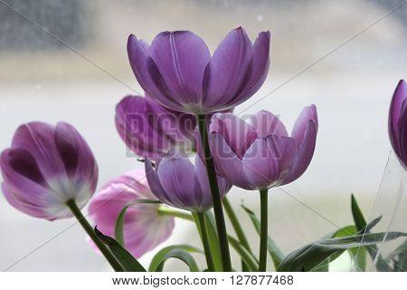 Back-lit purple tulips through a glass window