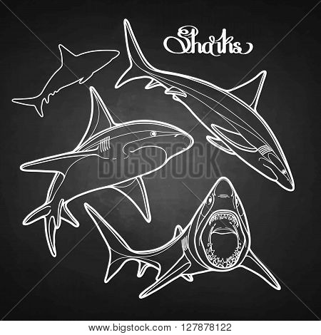 Graphic collection of vector sharks drawn in line art style. Oceanic whitetip shark isolated on white chalkboard