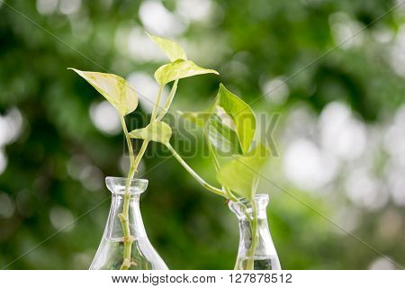 Golden Pothos or Devil's Ivy in the bottle of water.