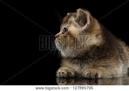 Scottish Straight Kitten Lying and Looking up Snout in Profile Isolated on Black Background