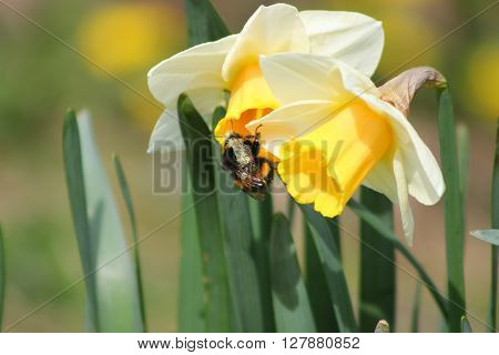 A bumblebee pollinating a pair of yellow daffodils