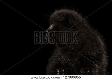 Scottish Fold Kitten Lying and Looking up Snout in Profile Isolated on Black Background