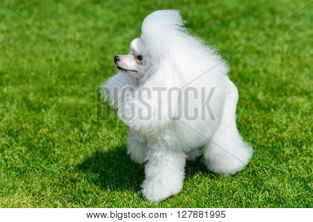Miniature white poodle standing on green field.