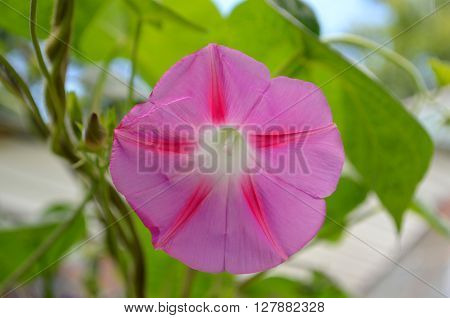 Pink Morning Glory in the morning in the garden
