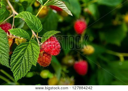 Ripe raspberries ready for harvest at a commercial fruit farm.