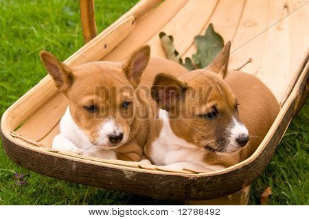 Puppies In A Sussex Trug