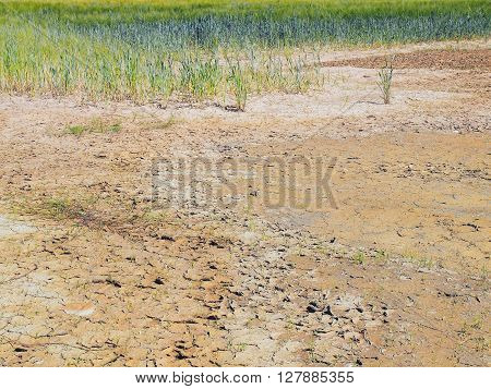 Dry Cracked Clay In Corner Of Wheat Field. Dusty Deep Cracks And Wilted Flowers.