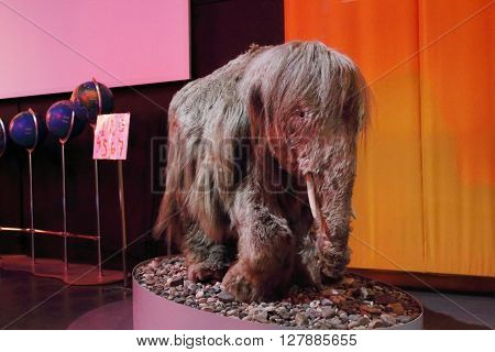 PERM RUSSIA - APR 4 2015: Stuffed baby mammoth with wool in Museum of Local History