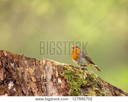 Robin ((Erithacus rubecula) sitting on a mossy trunk early spring in Poland. Horizontal view.