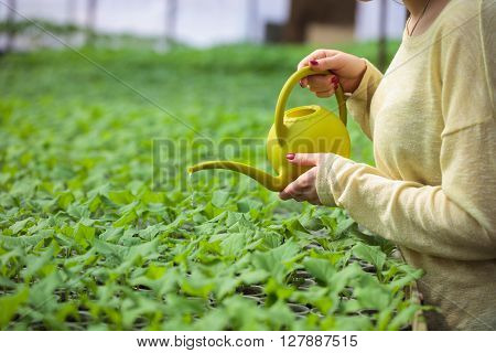 Farmer woman waters rows of green plant seedlings in greenhouse with a watering can. Cultivated sprouts in rich soil were grown under the sun in glasshouse.