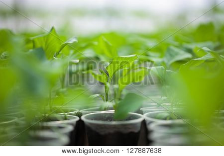 Green Seedlings Grown In A Row In Hothouse