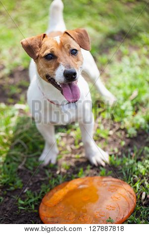 Jack Russell Terrier Dog Playing Frisbee In Green Park