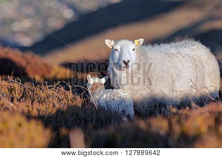 Sheep and a Lamb in Heatherland Moors