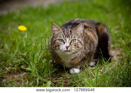 Beautiful multicolor calm cat sitting on grass and looking at camera