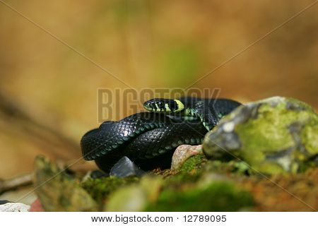 Black snake in a forest