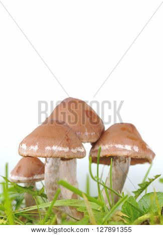 Several Honey Mushrooms With Green Grass