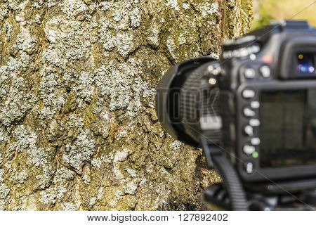 Taking a photo lichen (Net-marked parmelia Parmelia sulcata) on a tree.
