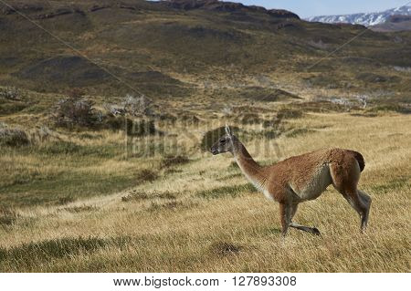 Guanaco (Lama guanicoe) walking across a hillside in Torres del Paine National Park in Patagonia, Chile