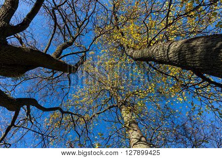 Vibrant colored treetop in front of blue sky at autumn time