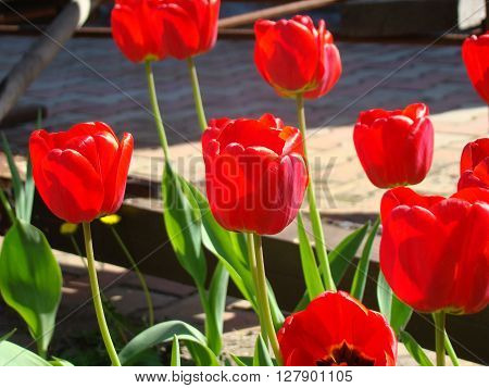Tulip is a kind of perennial herbaceous bulbous plants