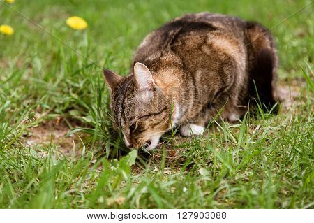 Multicolor cat eating grass on the lawn in summer