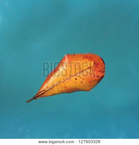 Yellow leaf from mango tree on blue water, floating leaf, orange leaf of autumn, fall leaf in water, turquoise water and yellow leaf, leaf in swimming pool, yellow leaf on blue, autumn falling leaves