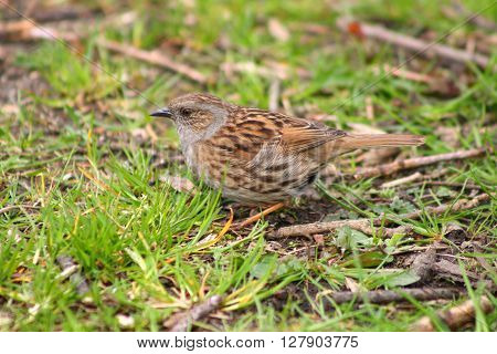 A Dunnock also known as Hedge Sparrow in grass