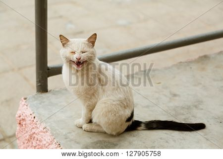 Beautiful sick white cat meowing and looking at camera