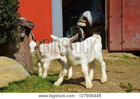 two small white-brown cute kids on farm