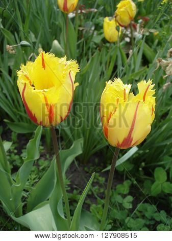 Fringed tulips flowers 'Flamenco' (red and yellow).