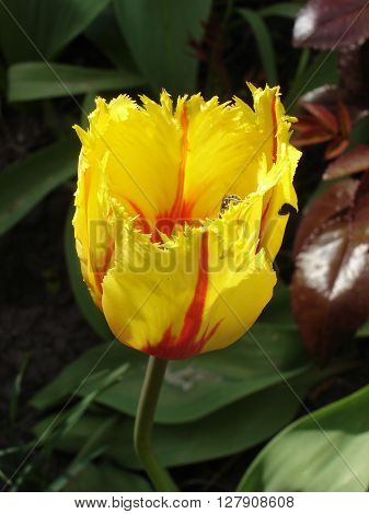 One fringed tulips flowers 'Flamenco' (red and yellow).
